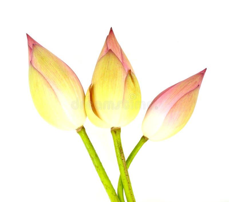 Three Bud Lotus On White Royalty Free Stock Image