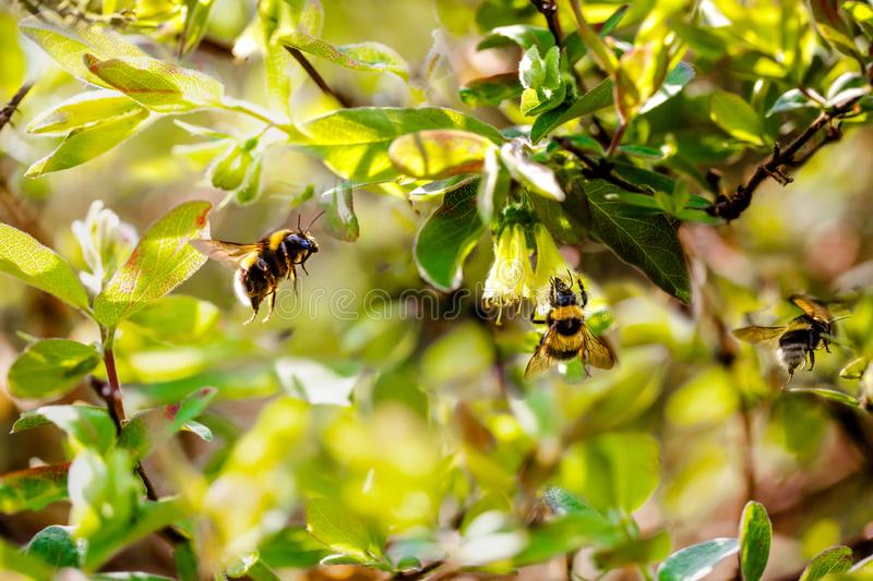 Three bumblebees in a bright spring garden. Selective focus. Toning royalty free stock images