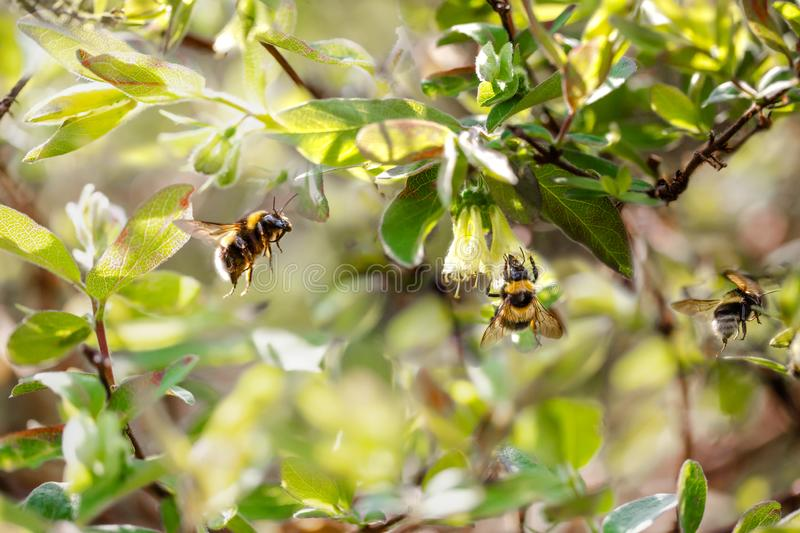 Three bumblebees in a bright spring garden. Selective focus royalty free stock images