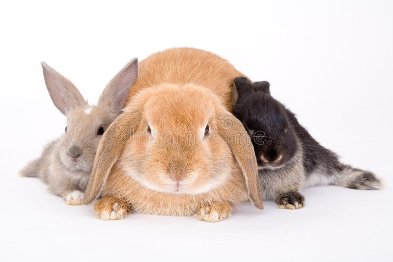 Three bunny. On a white background royalty free stock image