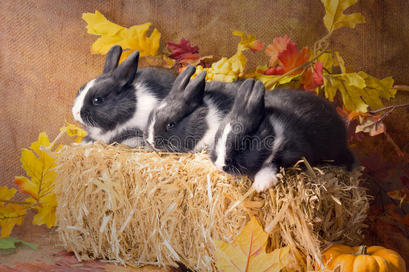 Three bunny on straw block. Dwarf Dutch rabbit, one month. Three bunny on straw block in autumn leaves. Dwarf Dutch rabbit, one month stock photography