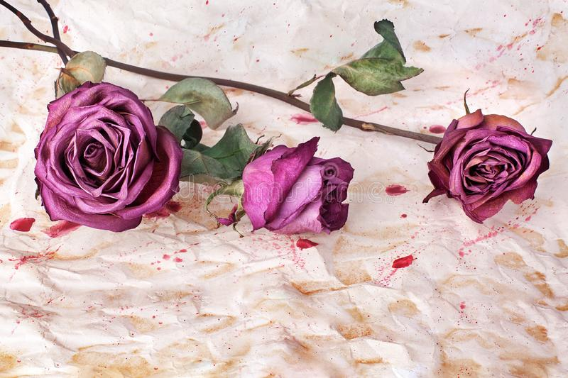Three burgundy rose flowers on painted crumpled aged paper background close up, holiday invitation or greeting card design stock photography