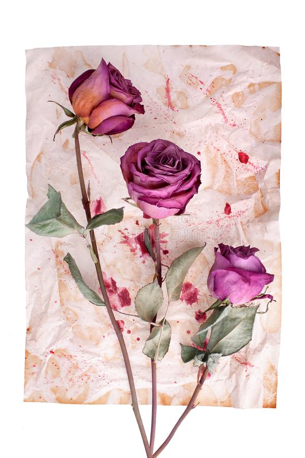 Three burgundy rose flowers on painted crumpled aged paper background closeup  on white, holiday invitation, greeting card stock photos