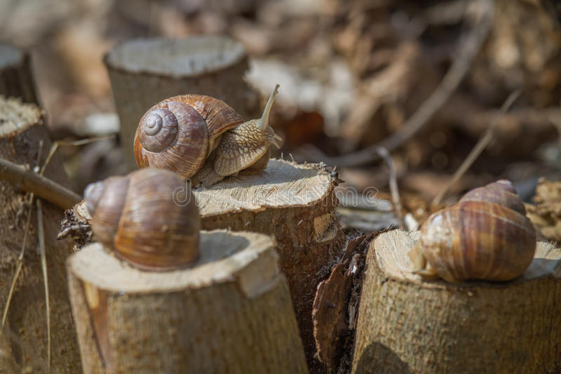 Three Burgundy snails on hazel stumps royalty free stock image