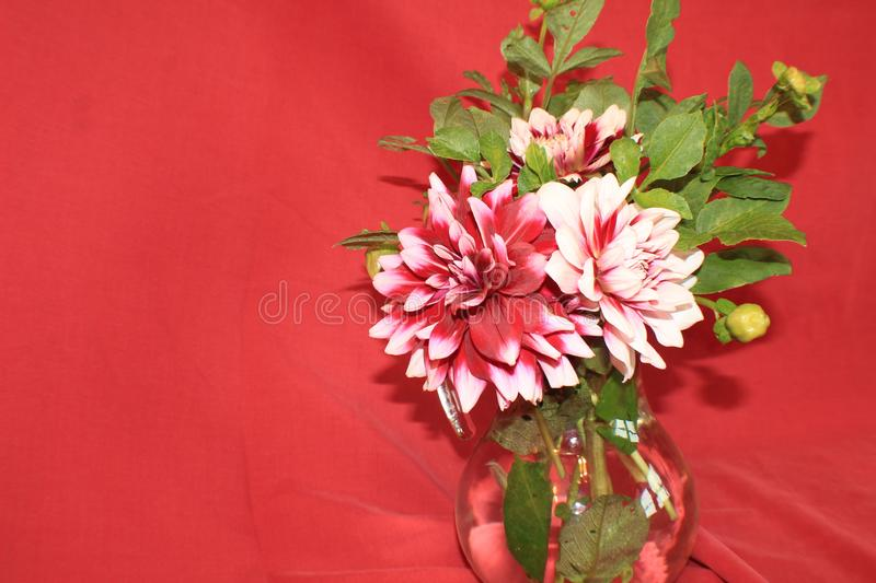 Three Burgundy and White Dahlia blossoms with buds and leaves in a glass pitcher royalty free stock photos