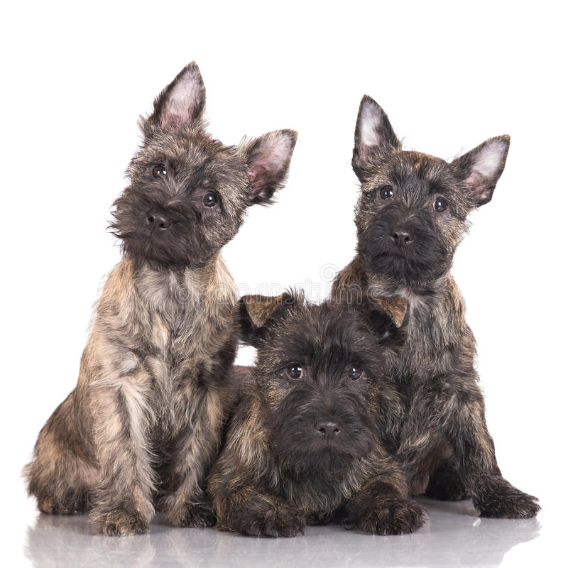 Three cairn terrier puppies stock photography