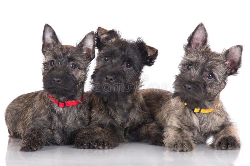 Three cairn terrier puppies stock photo