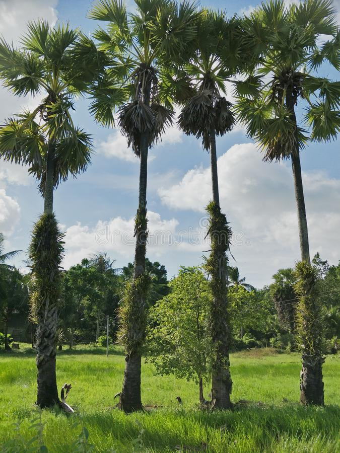 Sugar palm in the garden. Three cakes of commercially produced sugar Palm is a sweetener derived from any variety of palm tree. Palm sugar is sometimes qualified stock photo