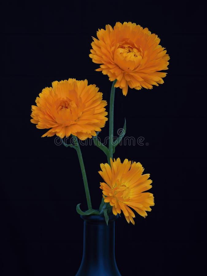 Three calendula flowers in dark vase on dark blue background. Striking dramatic still life. royalty free stock images