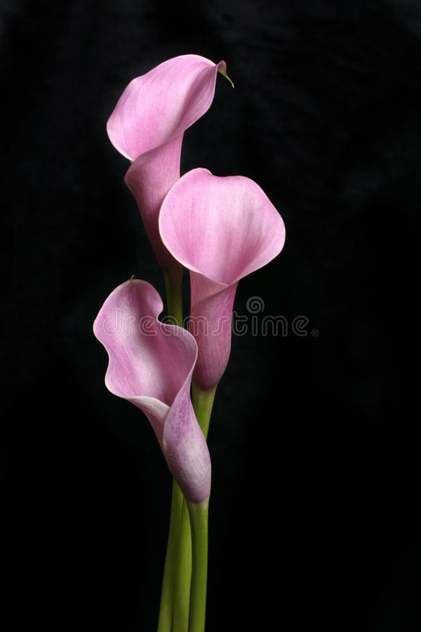 Three Calla Lilies on Black royalty free stock images