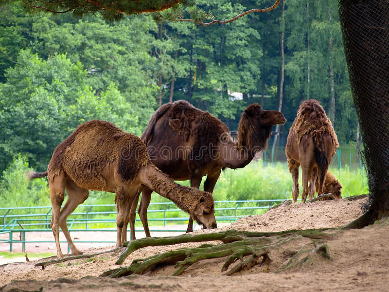 Three camels royalty free stock photos