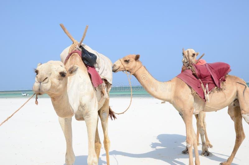 Three camels at the beach royalty free stock photo