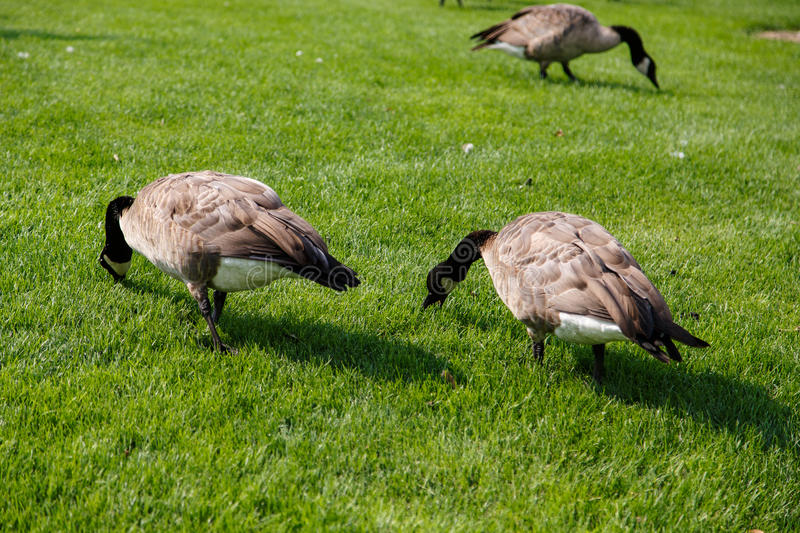 Three Canada Geese Grazing stock images