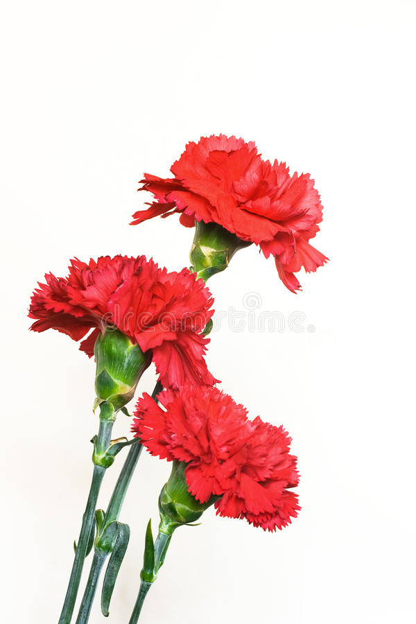 Free Three Carnations Royalty Free Stock Images - 13845739