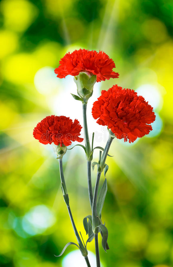 Free Three Carnations Flowers Royalty Free Stock Image - 48154126