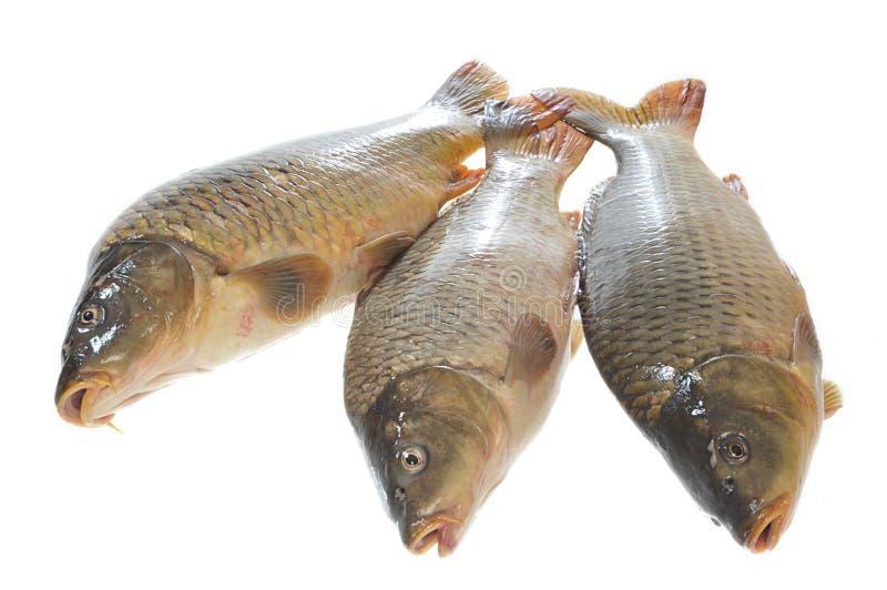 Three carp on a white background royalty free stock photos