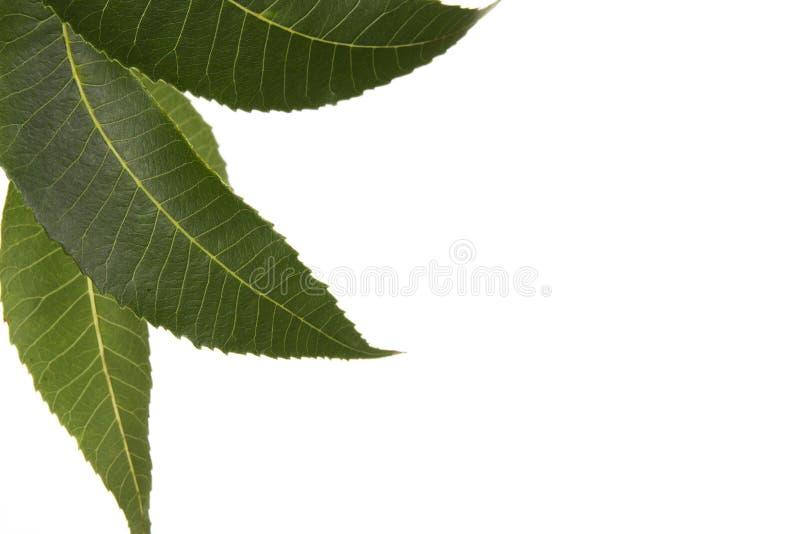 Three Carya illinoensis Pecan Leaves isolated. Three isolated leaves from a Texas native pecan tree stock photos
