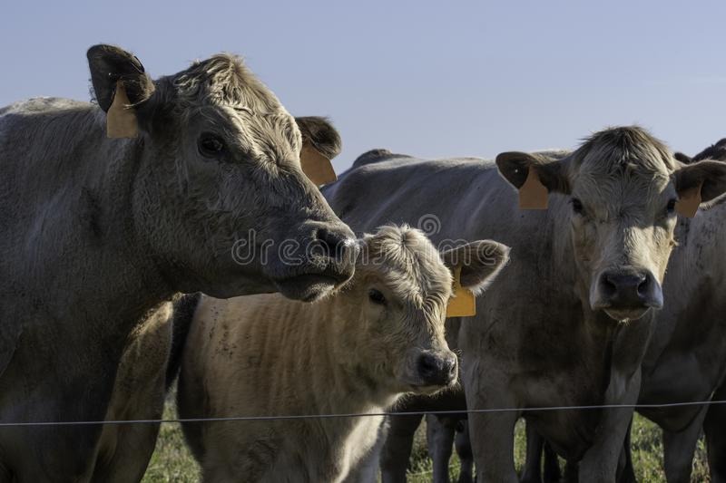 Three cattle near a wire fence royalty free stock image