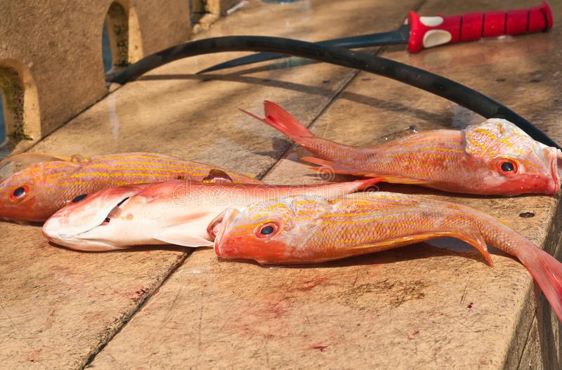 Three caught red snappers and filleting knife. At a public cleaning station preparing to fillet and skin fish in a tropical harbor on the Gulf of Mexico stock photography