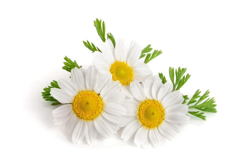 Three chamomile or daisies with leaves isolated on white background stock photography