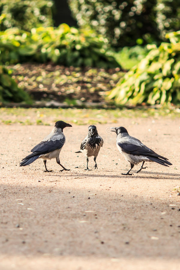 Three chatty girls - humorous and funny scene in the park. Three crows stay in circle and look like three chatty girls in sunlight and beautiful park on the royalty free stock photos