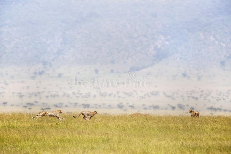 Three cheetahs running through the Masai Mara royalty free stock images