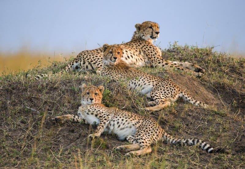 Three cheetahs in the savannah. Kenya. Tanzania. Africa. National Park. Serengeti. Maasai Mara. royalty free stock images