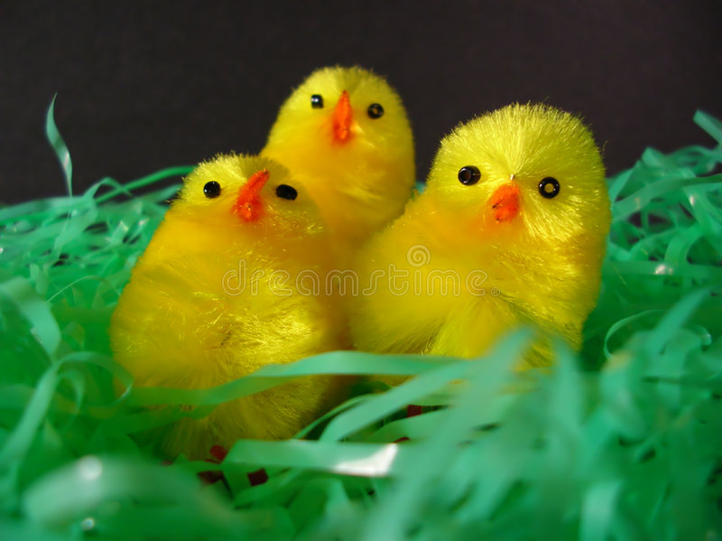 Download Three Chick Choir stock image. Image of yellow, bonnet, beak - 71045