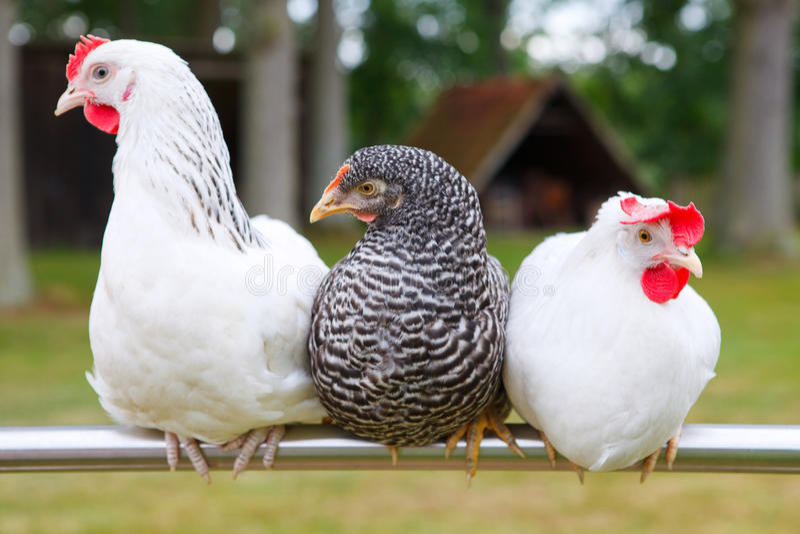 Three chicken royalty free stock photo