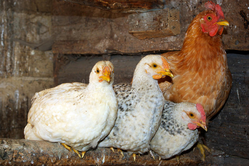 Download Three chickens. stock image. Image of agriculture, feather - 13645371