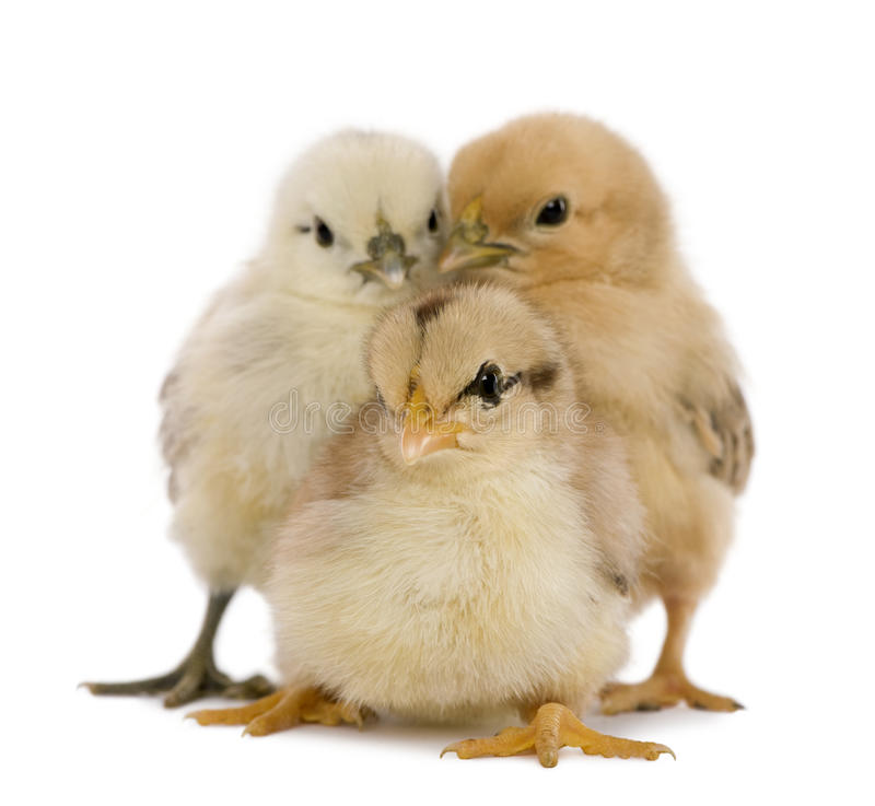 Three chicks. In front of white background