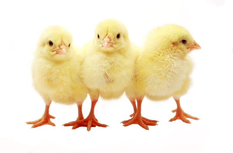 Three Chicks stock image