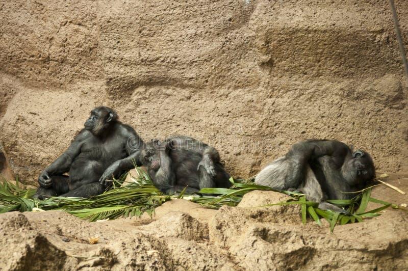 Three Chimpanzees stock image