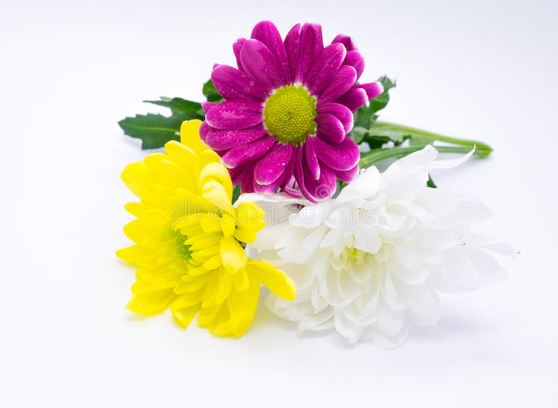Three chrysanthemums pink and yellow and white close up macro flowers macrophoto stock images