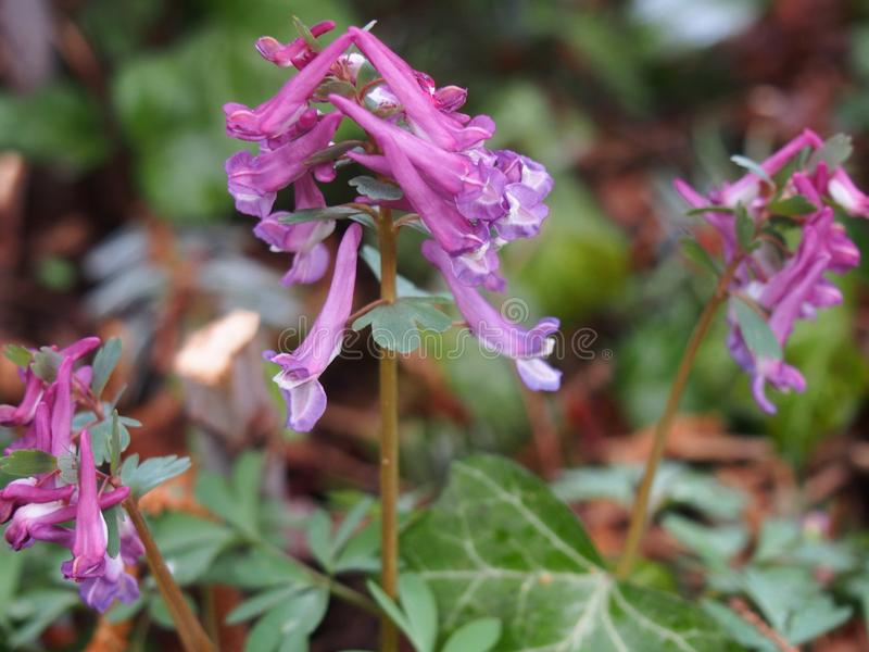 Three clusters of European spring flowers Corydalis solida, March, Berlin-darhlem botanical gardens royalty free stock images