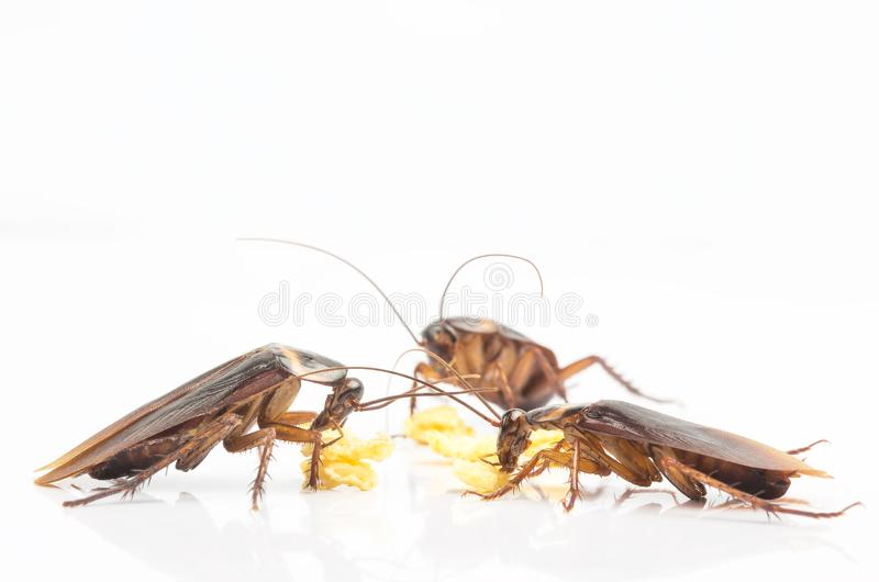 Three cockroaches eating food in kitchen background Isolated on White Background. royalty free stock photos