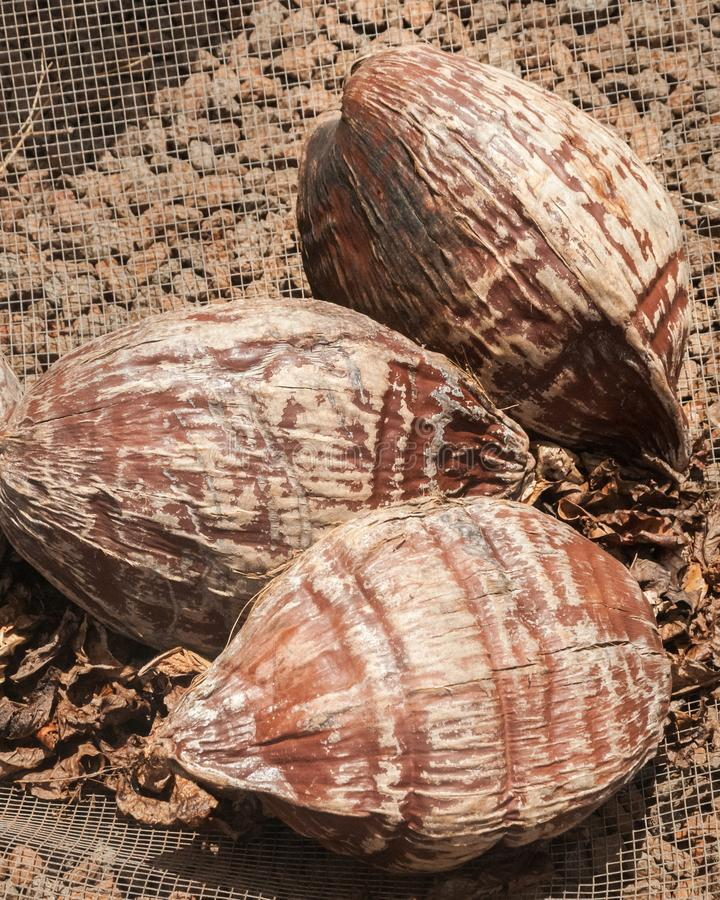 Coconuts jus after harvesting from trees at a farm in Kauai, Hawaii. Three Coconuts which have brown husks still intact just after harvesting from trees at a stock image