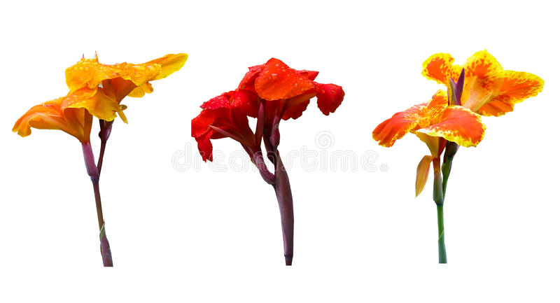 Download Three color of Canna lily stock image. Image of three - 21926445