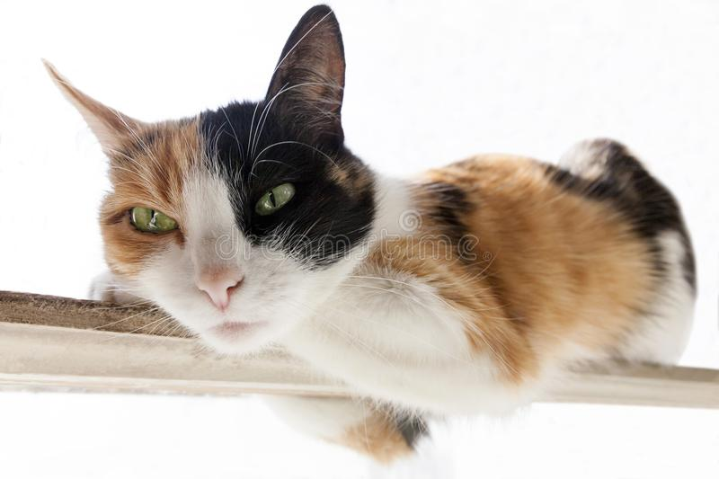 Three-color red, black, white cat lies on a narrow stick. White background stock photography