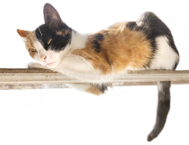 Three-color red, black, white cat lies on a narrow stick. White background royalty free stock images