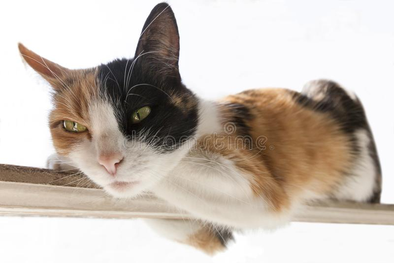 Three-color red, black, white cat lies on a narrow stick. White background royalty free stock image