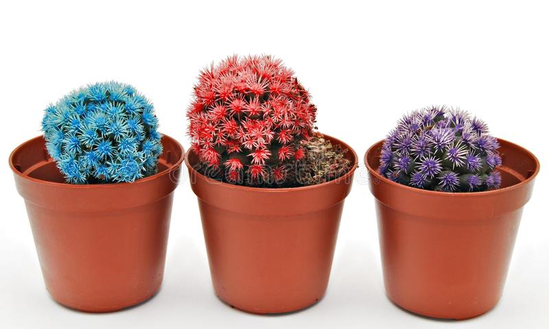 Download Three colored cactus stock photo. Image of tropical, gardening - 19855462