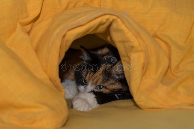 Cat enjoys it in bed. Three-colored cat cuddles under the coverlet - favorite place stock photos