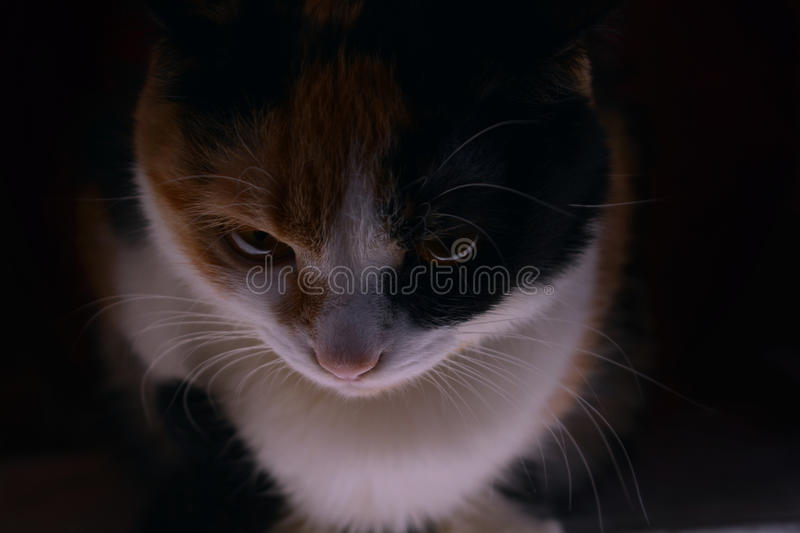 The three-colored cat is looking out of the darkness royalty free stock image