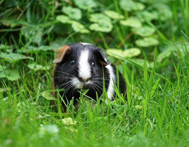Three colored guinea pig, feeding in the grass stock image