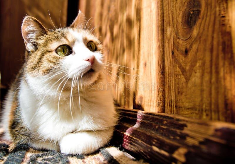 Three-colored kitten stock photography