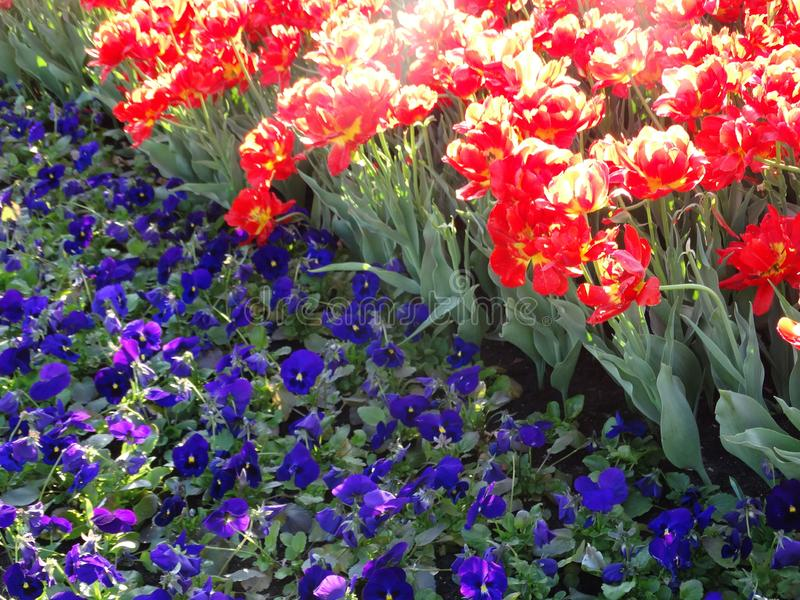 Three-colored violas and red tulips. A flower bed of flowers, called viola tri-color, in this case is represented by blue, purple colors with a black and yellow stock photography