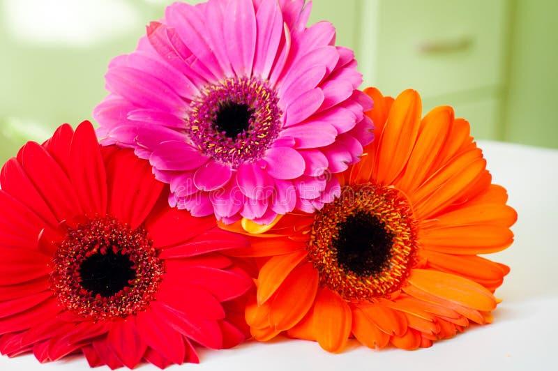 Three colorful gerberas royalty free stock image