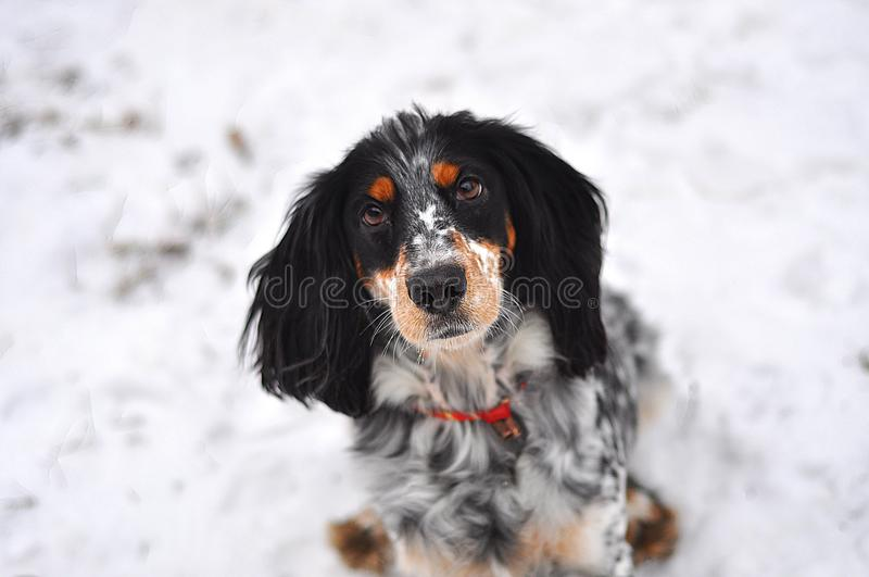 The dog russian spaniel stock image