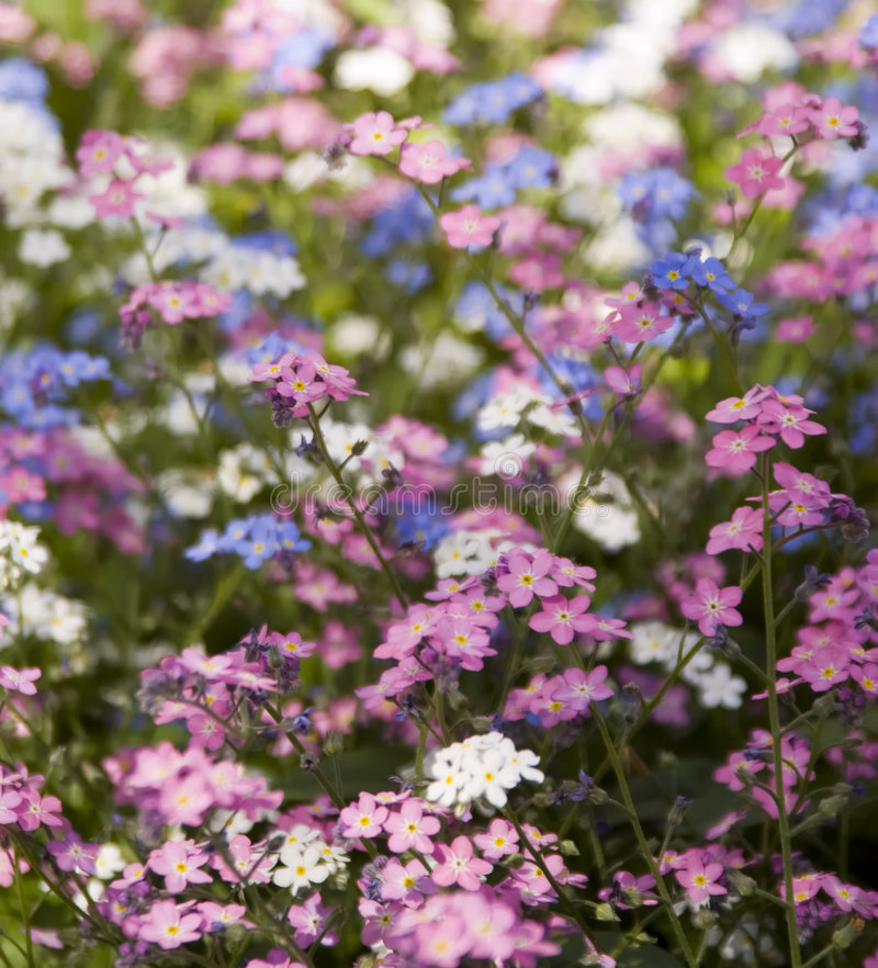 Three colours forget-me-not. Flowers royalty free stock image